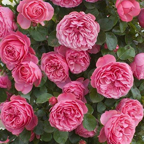 Leonardo Da Vinci Rose Bush Reblooming Pink Rose Grown Organic Potted - 60+ Petal Flowers! Stargazer Perennials (Roses Potted)