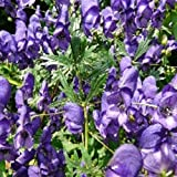 Herb Seeds - Monkshood - 100 Seeds