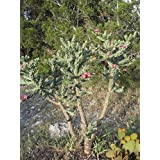 Organic Seeds: Cane Cholla - 8 EACH- 5-6 inch Branch cuttings (unrooted) by Farmerly