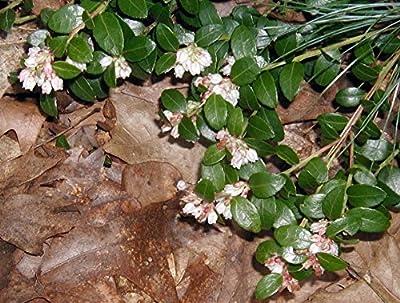 "Autumn Dream Box Huckleberry - Blueberry Like Fruit - 3.25"" Pot"