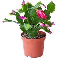 Plantsguru Christmas Cactus, Zygocactus Live Plant