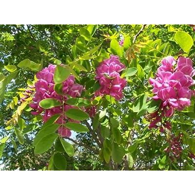 Arnot Bristly Locust, Robinia fertilis, Shrub Seeds (Fast, Hardy, Fragrant) (60) : Garden & Outdoor