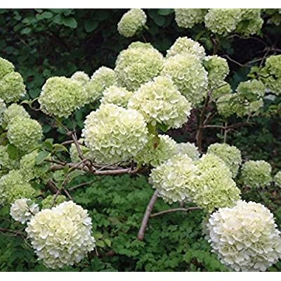Chinese Snowball Bush (Viburnum macrocephalum) - Live Plant - Full Gallon Pot : Garden & Outdoor
