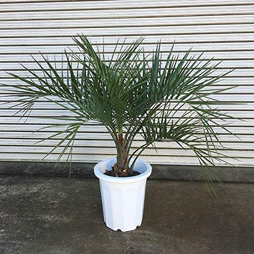 ココスヤシ10号鉢植え樹高約0.8m[関東以南で庭植えOK!耐寒性が強いヤタイヤシブラジルヤシ] B01M5FR2OU