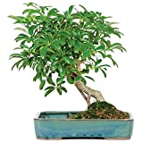 Brussel's Hawaiian Umbrella in Land Water Pot  Bonsai - Large - (Indoor)