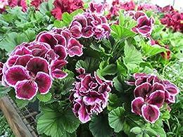 Martha Washington geranium at the Greenhouse