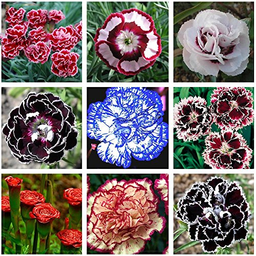 Solution Seeds Farm Rare Hierloom Mixed 9 Types of Dianthus Seeds, 200 Seeds, Sweet William flower E-Z grow high germination (William Grow Sweet)