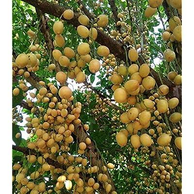 AchmadAnam - 50 Seeds - Baccaurea ramiflora Burmese Grape. E11 : Garden & Outdoor