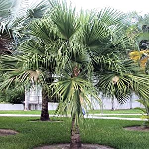 LIVISTONA CHINENSIS CHINESE FAN PALM BULK 100 seeds