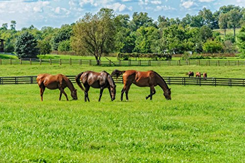 Thoroughbred Horses Grazing in Pasture Photo Art Print Mural Giant Poster 54x36 inch