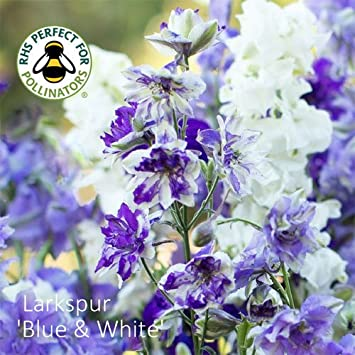 Larkspur sublime blue and white seeds blue and white larkspur larkspur sublime blue and white seeds blue and white larkspur mightylinksfo