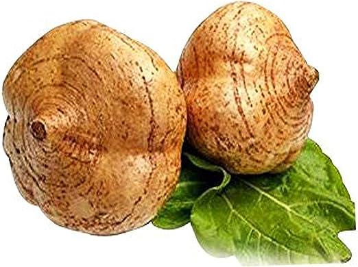 Rare Jicama Mexican root vegetable  7 seeds UK SELLER