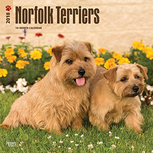 Norfolk Terriers 2018 12 x 12 Inch Monthly Square Wall Calendar, Animals Dog Breeds Terriers