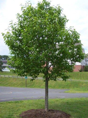 15 Seeds Hardy Rubber Tree Ornamental Shade Tree