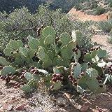 Nopal Prickly Pear Cactus Seeds (Opuntia engelmannii) (20)
