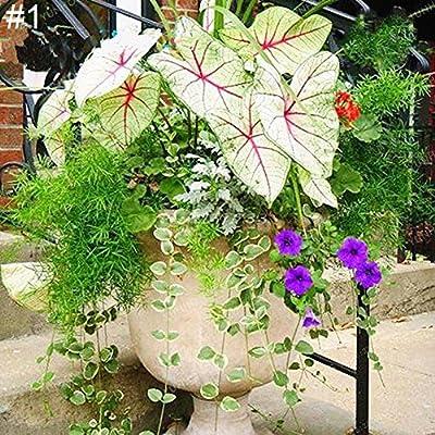 Primrose Seeds, 50Ps Coleus Flower Seeds DIY Home Garden Yard Leaf Plant Potted Bonsai Decor : Garden & Outdoor