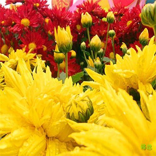 Semillas 50PC holandesa flor del crisantemo, ornamental Bonsai, raro color, elegir más nuevas semillas de plantas del jardín de flores de crisantemo: Amazon.es: Jardín