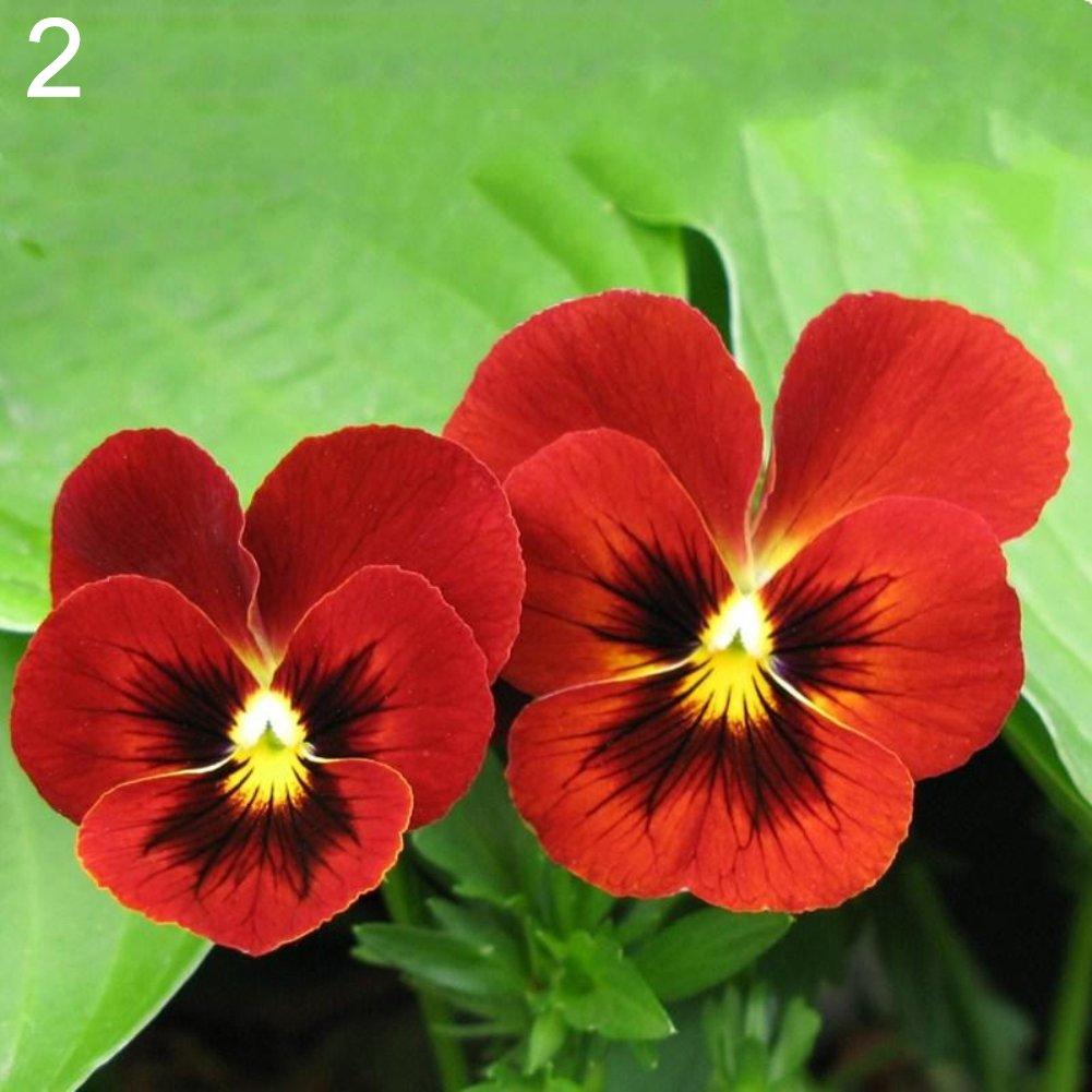 Steellwingsf 100Pcs Multicolor Beautiful Pansy Seeds Bonsai Plant Flower Home Garden Decor