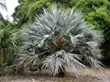 10 Seeds Brahea Armata Blue Hesper Palm