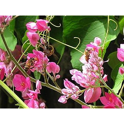 Antigonon leptopus | Chinese Love Vine | 10_Seeds : Garden & Outdoor