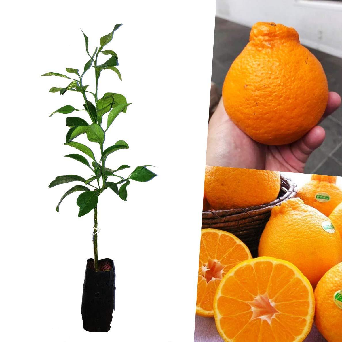 Dekopon Orange Plant grafted Tree Sweet Unique Taste Japanese Citrus