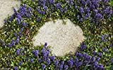 30 CARPET BUGLE Seeds, Ajuga Reptans, Groundcover Seeds .Shade loving Plant
