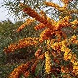 Sea Buckthorn Bush Seeds (Atriplex confertifolia) (20)