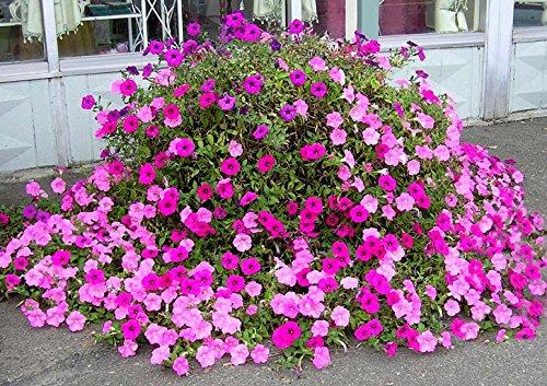 Creative Farmer Flower Seeds : Petunia Rose Pinky Flower Flower Seeds For Planting   Garden Flower Seeds Pack