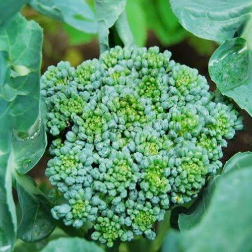 Broccoli, 200 Seeds, Broccoli