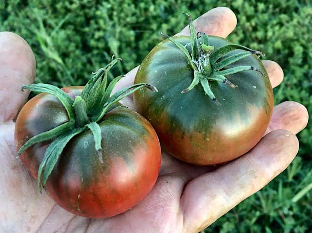 RARE Tomate Black Pear 15 graines Vendeur Britannique