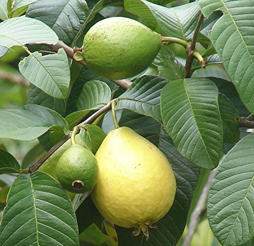 Pink Guava Exotic Tropical Fruiting Perennial Ornamental Fruit Tree - 10 Seeds