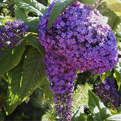 Heliotrope Garden 'Marine Blue' (Heliotropium Arborescens L.) Flower Plant Seeds, Annual Heirloom : Garden & Outdoor