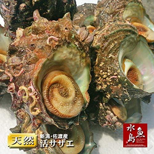 魚水島 新潟・佐渡産 天然 活サザエ・さざえ 約120g×10個 約1.2kg