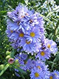 4 Bare Root of Aster Novi-Belgii 'Blue Danube'