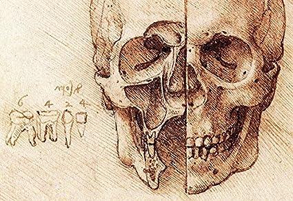 Amazon Sectioned Skull Poster By Leonardo Da Vinci Human Skull