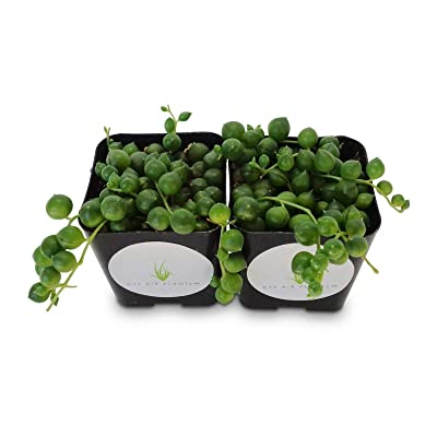 "String of Pearls Succulents Senecio Rowleyanus 2 Pack in 2"" Pots : Garden & Outdoor"