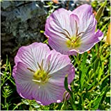 Package of 6,000 Seeds, Showy Evening Primrose (Oenothera speciosa) Non-GMO Seeds By Seed Needs