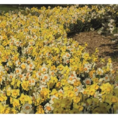 5 Naturalizing Blends Daffodil Bulbs Spring Flower Bulb Garden Flowers Fall : Garden & Outdoor