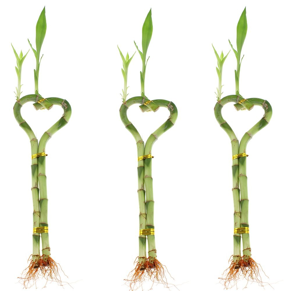 Betterdecor-3 Pairs (3 Pieces) of 6 Inches Heart-shaped Lucky Bamboo for Gift and Fengshui