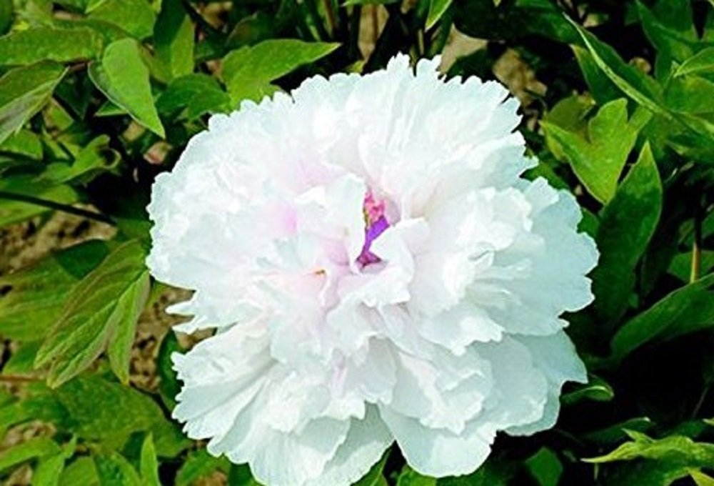 Seeds Market Rare 'Swan Velvet' white peony w / purple heart-shaped flower seeds, professional packaging, 5 Seeds / pack, light fragrant