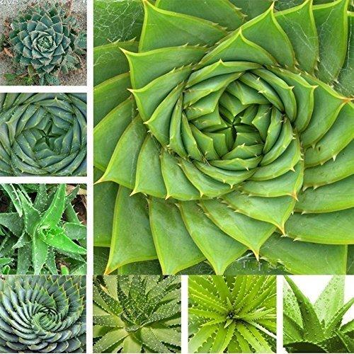 Hot (Aloe *Ambizu*) Hot Selling 5+5pcs Aloe Seeds Succulent Plants Bonsai Seeds (Aloe 5+5pcs) for cheap