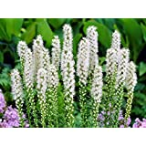 Organic Flower seeds White Liatris (Liatris spicata) Dense Blazing Star.