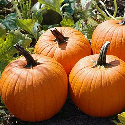 Pumpkin Magic Wand F1 Seeds - Vegetable Seeds Package - 1,000 Seed Package by HARRIS MORAN (Image #1)