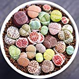 Live Fat Succulent Plant Mini Succulents Colorful Lithops Gow Fast 10 PCS Collection (0.15''~ 0.4'' Bare Root)