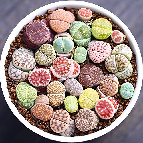 Live Fat Succulent Plant Mini Succulents Colorful Lithops Gow Fast 10 PCS Collection (0.15