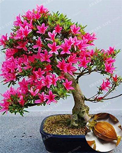 Hot Sale! 5PCS Gardenia Seeds (Cape Jasmine )-DIY Home Garden Potted Bonsai, Amazing Smell & Beautiful Flowers Four Seasons Evergreen seeds of hope (Jasmine Gardenia Cape)