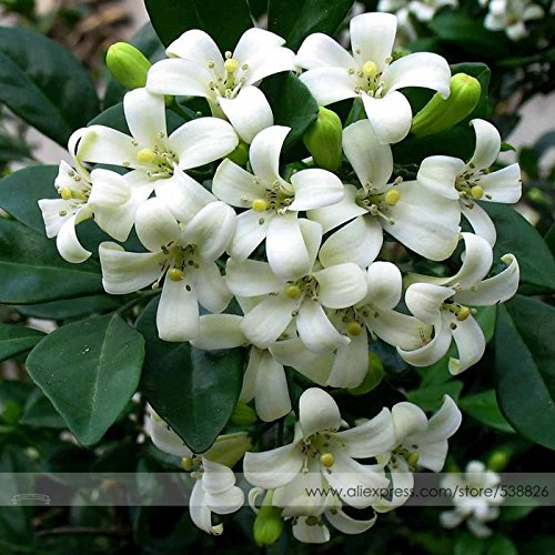 Hot Sale Heirloom 100% True Orange Jasmine Shrub with Fragrant White Flower Seeds, Professional Pack, 20 Seeds/Pack, Murraya Paniculata (Plant Orange Jasmine)