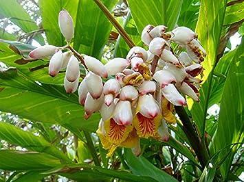 Muschelingwer Alpinia Zerumbet Tolle Blüten Zingiber Galgant Ingwer