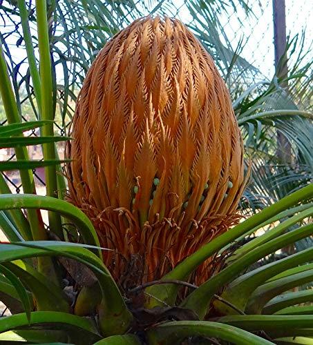 Home Comforts Canvas Print Cone Cycad Karnataka Sago Palm India Female Vivid Imagery Stretched Canvas 32 x 24