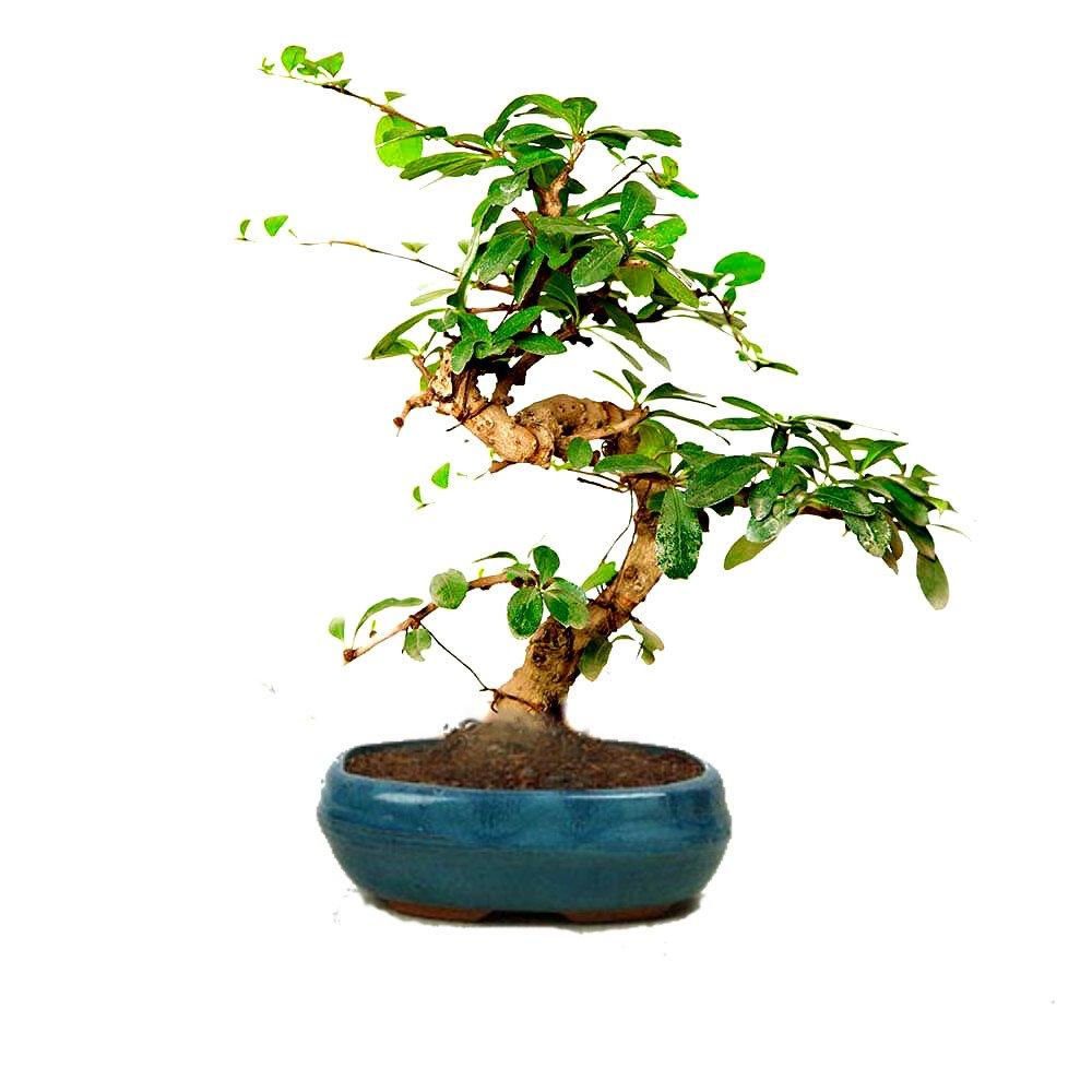 The Bonsai Plants Carefree Carmona Bonsai Tree Amazon In Garden Outdoors